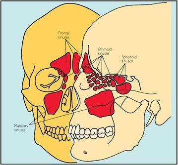 Paranasal Sinus Anatomy