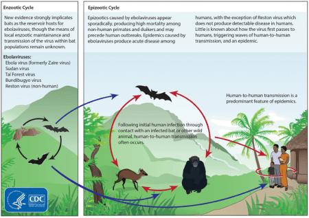 The Ebola Life Cycle