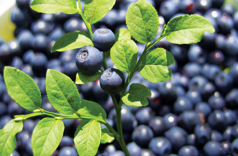 Bilberry And Its Health Benefits As A Superfood